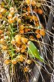 Green Maritaca bird eating some mini coconuts Royalty Free Stock Photos