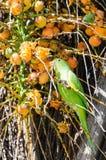 Green Maritaca bird eating some mini coconuts Royalty Free Stock Photography