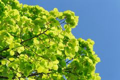 Green marple leaves on clear sky background copyspace Royalty Free Stock Photography