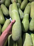 Green marrow in hand and background heap of marrow royalty free stock image