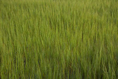 Green Marsh. Bright green marsh blowing in the wind Stock Photos