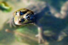 Green Marsh frog natural habitat, camouflage amphibian Pelophylax ridibundus. Macro view, selective focus, river plants. Blurred background Stock Photo