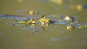 Green Marsh Frog Pelophylax ridibundus croaking on a beautiful light stock footage