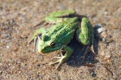Green marsh frog river coast background, camouflage dots amphibian Pelophylax ridibundus. Up view, selective focus. River plants background Stock Photography