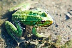 Green marsh frog river coast background, camouflage dots amphibian Pelophylax ridibundus. Up view, selective focus. River plants background Royalty Free Stock Photo