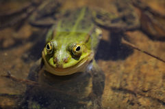 The green marsh frog smiles Royalty Free Stock Image
