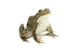 Green marsh frog Royalty Free Stock Photos