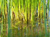 Green marsh grass Royalty Free Stock Photo