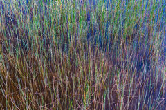 Green marsh grasses of the everglades Stock Photo