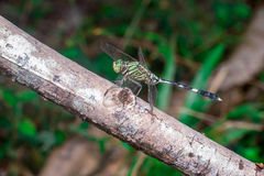 Green Marsh Hawk Dragonfly Stock Images