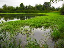 Green Marsh Land in Forest Stock Photo