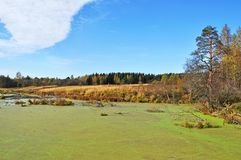 Green marshy lake in forest Royalty Free Stock Images