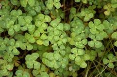 Green marsilea crenata plant in nature garden. Fresh green marsilea crenata plant in nature garden royalty free stock photos