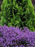 Green and mauve, bright colours of an elegant conifer and winter heather. Royalty Free Stock Image