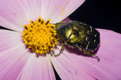 A green May beetle eats yellow pollen, sitting on a flower with purple petals. Macro Royalty Free Stock Photography