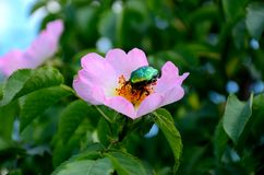 Green may-bug on a flower of wild rose Stock Photo