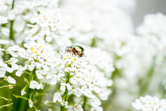 Green maybug on white flowers Stock Images