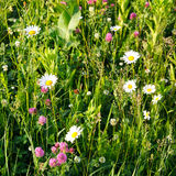 Green meadow. White camomiles on the green meadow Stock Photos
