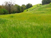 Green meadow. With yellow flowers. Wind blows through the tall grass. Trees and hills in the background Stock Photos