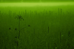 Green meadow. In the evening fog Stock Photography