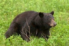 Green meadow American Black Bear resting Royalty Free Stock Photos