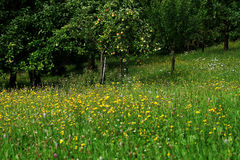 Green meadow and apples Royalty Free Stock Photos