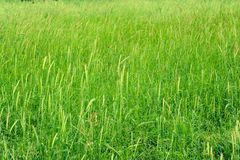 Green meadow Stock Images