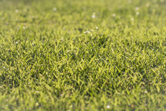 Green meadow. A beautiful meadow. Juicy and fresh. Let's play golf Royalty Free Stock Image