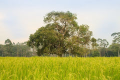 Green meadow and a big tree Royalty Free Stock Photos