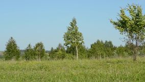 Green meadow with birches against the blue sky. Birch against the blue sky with green grass and shrubs, swaying in the wind in warm Sunny weather stock video footage