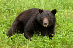 Green meadow Black Bear Ursus americanus resting Stock Photo