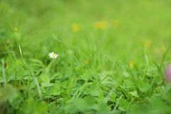 Green meadow with blooming wild flower. Closeup stock photography