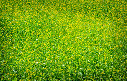 Green meadow with blossoming plants of mustard. Royalty Free Stock Images