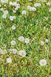 Green meadow with blowball dandelions Royalty Free Stock Images