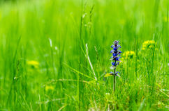Green meadow. Blue flower blooming on spring green meadow Stock Photos