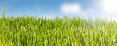 Juicy grass and sunshine panorama. Green meadow with blue sky and sunshine. Fresh water drops on top of the grass Royalty Free Stock Image