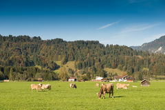 Green meadow with cattles in the Allgau Royalty Free Stock Photos