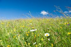 Green Meadow with chamomile Royalty Free Stock Image