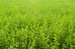 Green meadow. Closeup of a field of Alfalfa, used as fodder by cattle ranchers Stock Photo