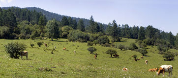 Green meadow with cows. Green lush meadow with cows Royalty Free Stock Photography
