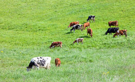 Green meadow and cows Stock Photo