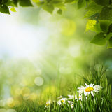 Green meadow with daisy flowes, natural backgrounds for your des Royalty Free Stock Image