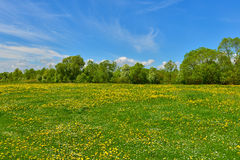 Green meadow with dandelions Royalty Free Stock Image