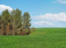 Green meadow at the edge of pine grove Royalty Free Stock Image