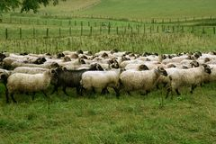 Green meadow with flock of sheep and goats Royalty Free Stock Photography