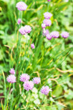 Green meadow with flowering chives herb Stock Photos
