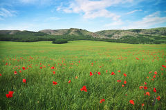 Green meadow with flowers in mountain. Stock Image