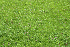 Green Meadow. Fragment of summer meadow becoming over a green grass and clover stock photography