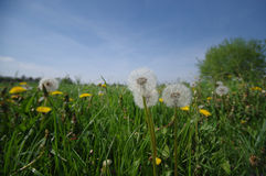 Green meadow full of dandelions flower not for allergy sufferers Stock Image