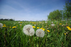 Green meadow full of dandelions flower not for allergy sufferers Stock Photo